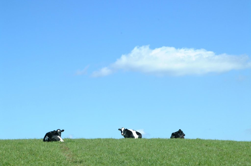 dairy cows biogas